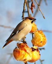 A hungry bird eating apples