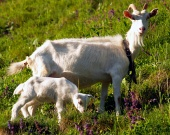 White goat with kid on meadow