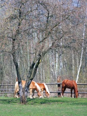 Horses grazing on the field