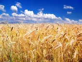 Golden wheat and blue sky in the background