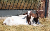 Goats in pen at the farm