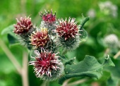Close-up of red thistles