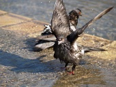 Close-up of two pigeons having bath in a fountain
