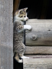 Tabby kitten climbing wooden logs