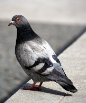 Portrait of grey pigeon