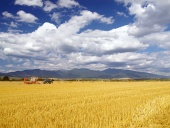 Wheat harvest in Slovakia