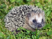 Close-up of one hedgehog in the green grass