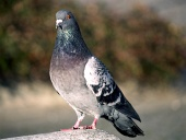 Pigeon standing on the rock