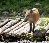 Wild pig standing on the wooden logs
