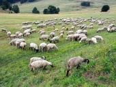 Sheep grazing on Slovak meadow